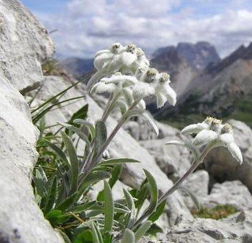 [FIABE] La stella alpina